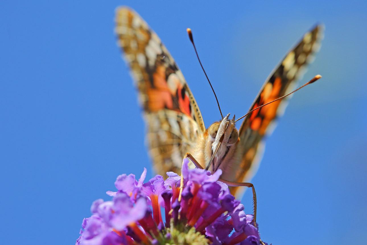 macrofoto-van-vlinder