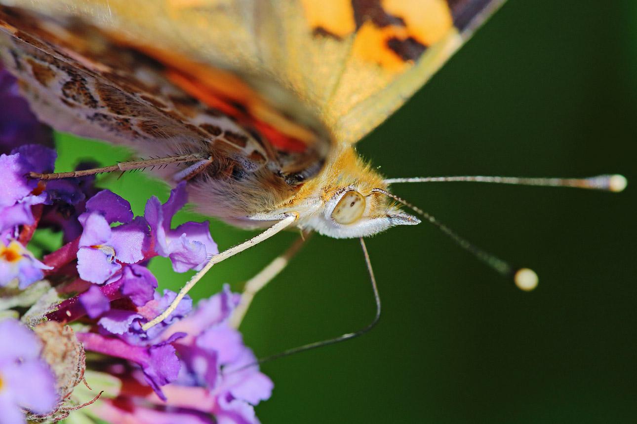 macrofotografie-vlinder