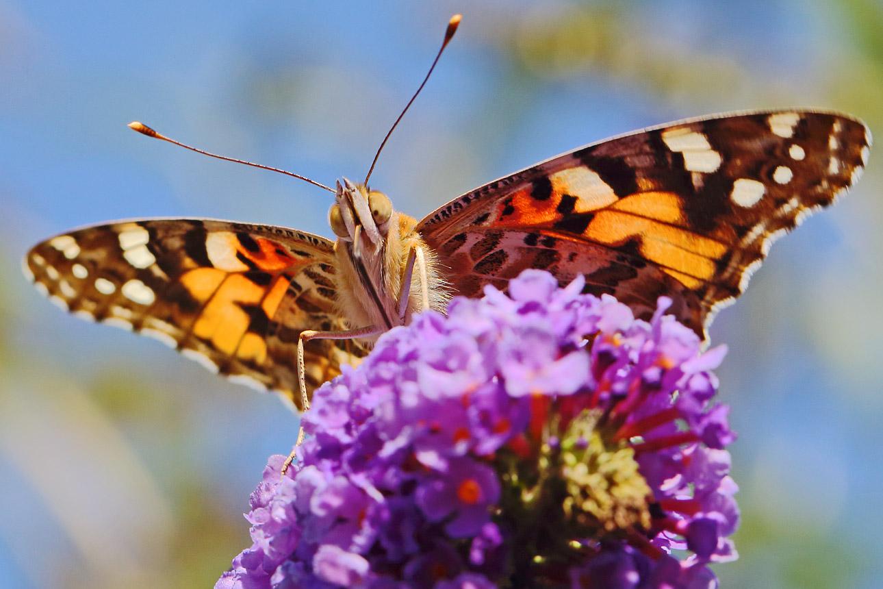 vlinder-van-dichtbij